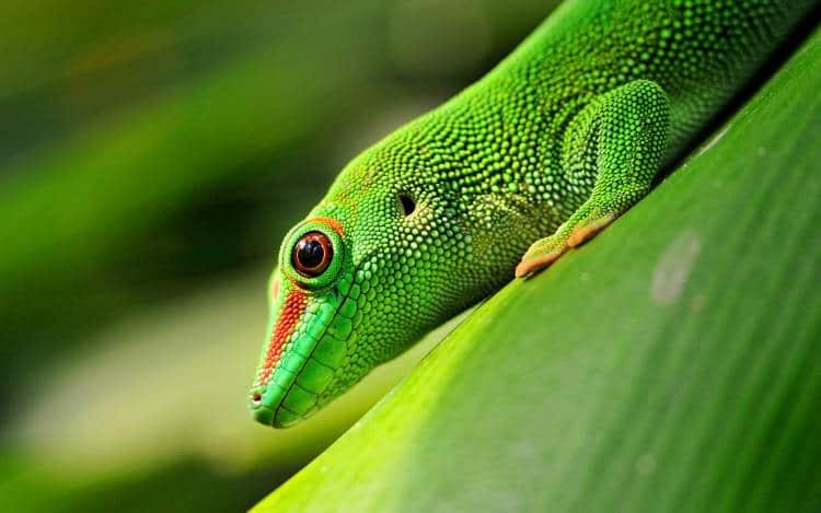 Le biomimétisme ou le gecko qui inspire les robots